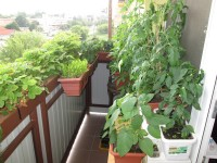 Balkonova zelenina