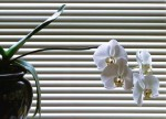 window-blind-orchid